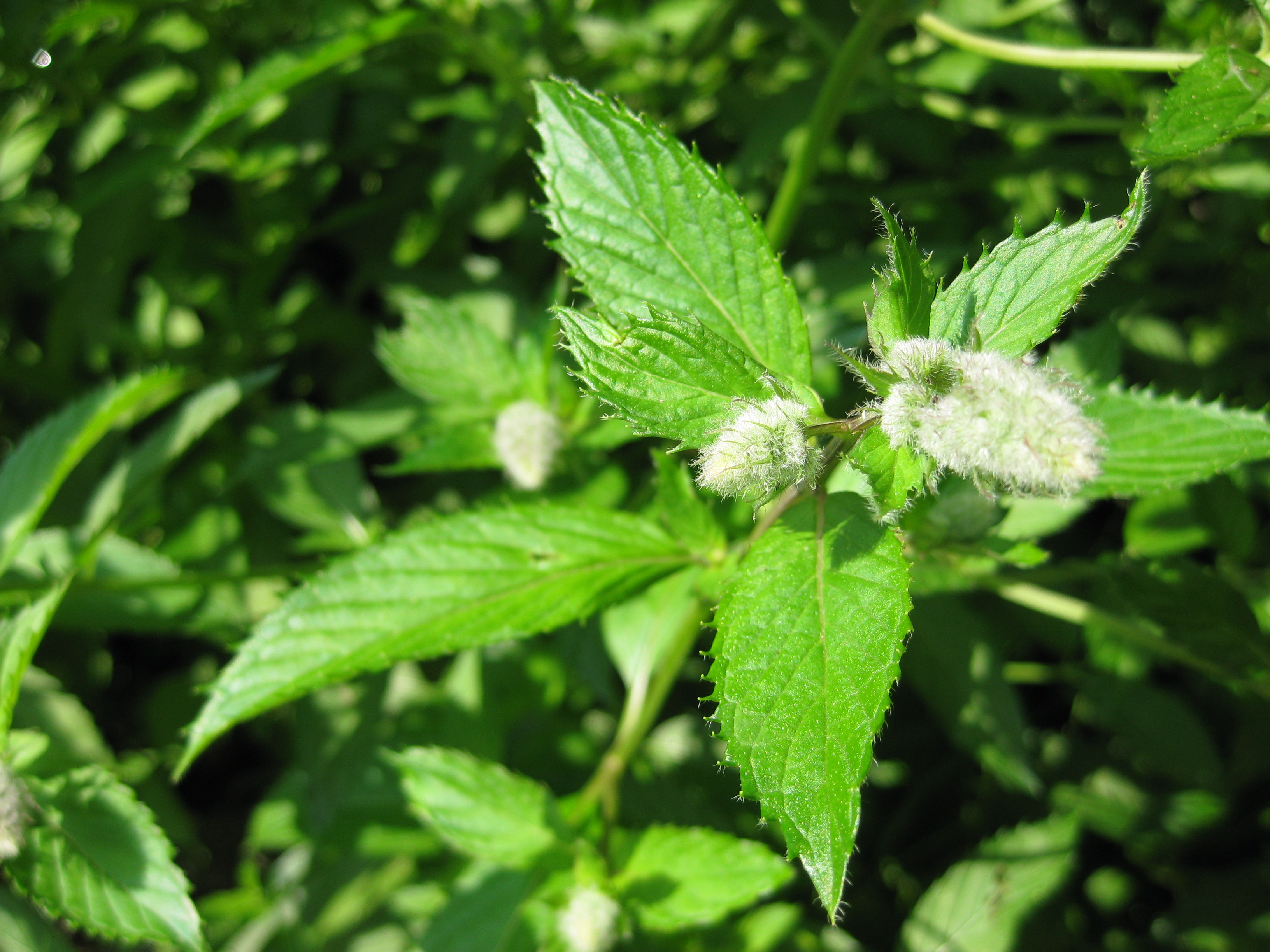 pepper mint Learn about the many uses and benefits of peppermint oil.