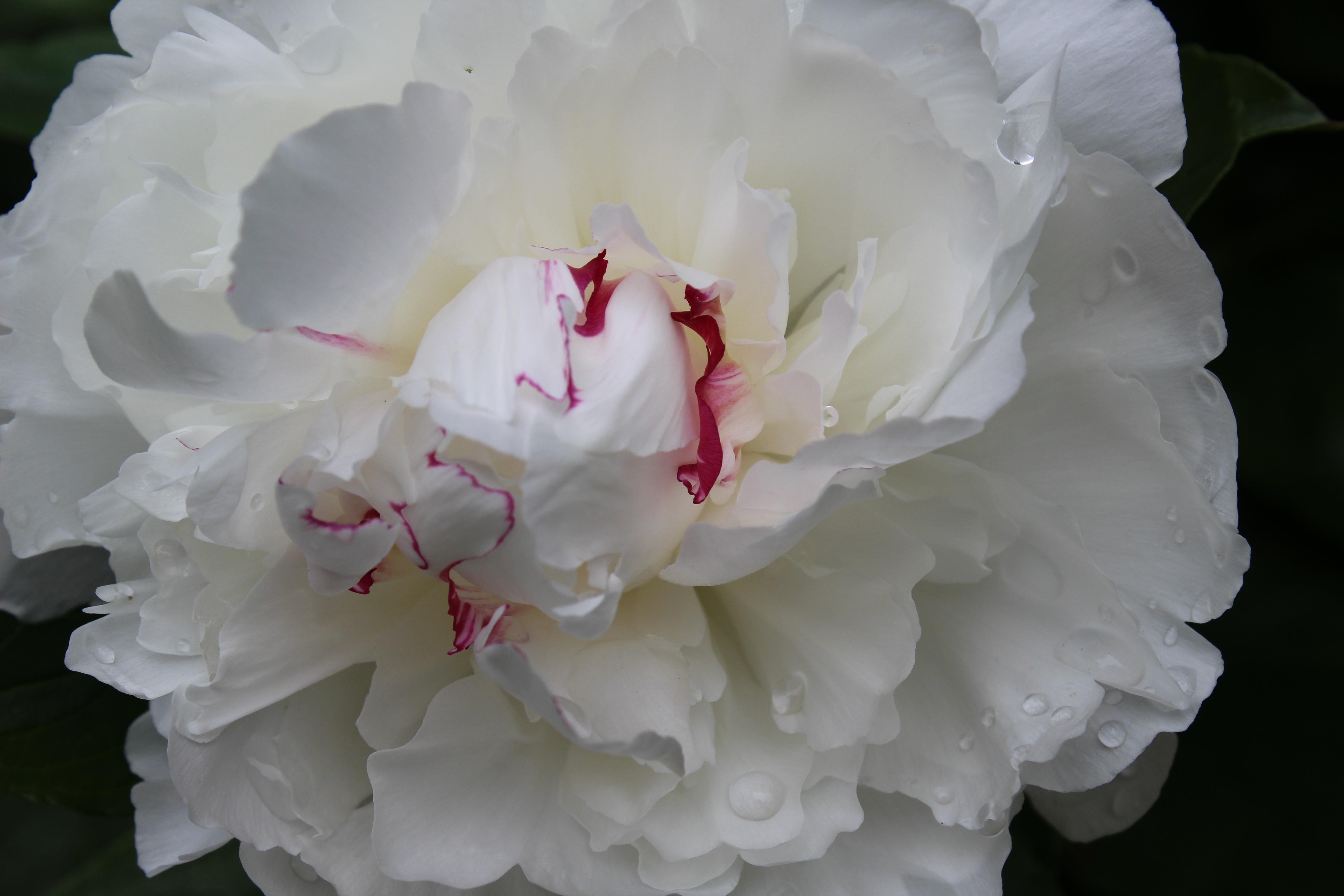 peony in flower