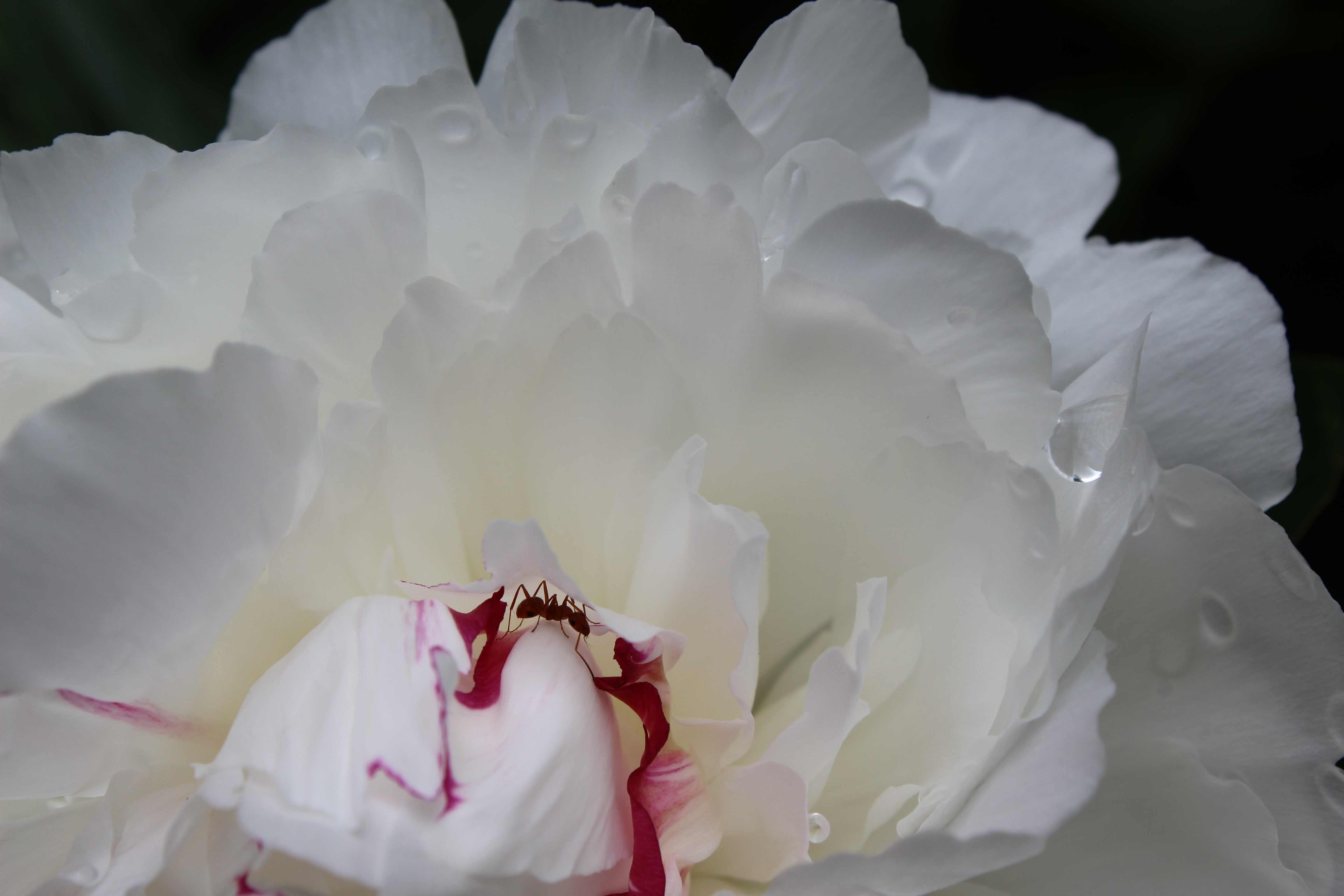 white peony with an ant in the petals