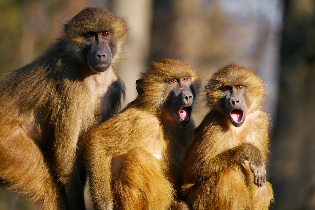 three shocked baboons (?)