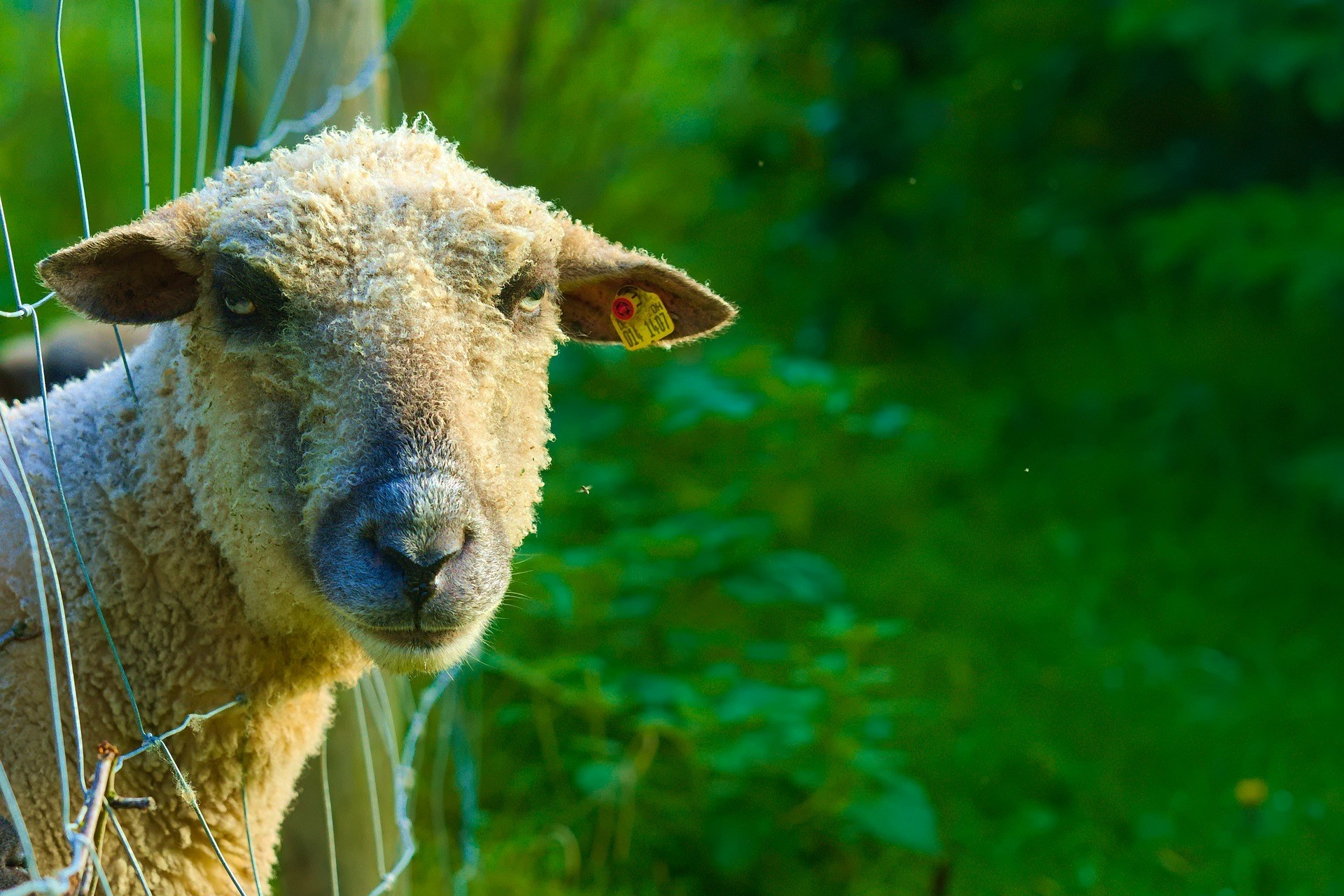 sheep with head stuck in fence