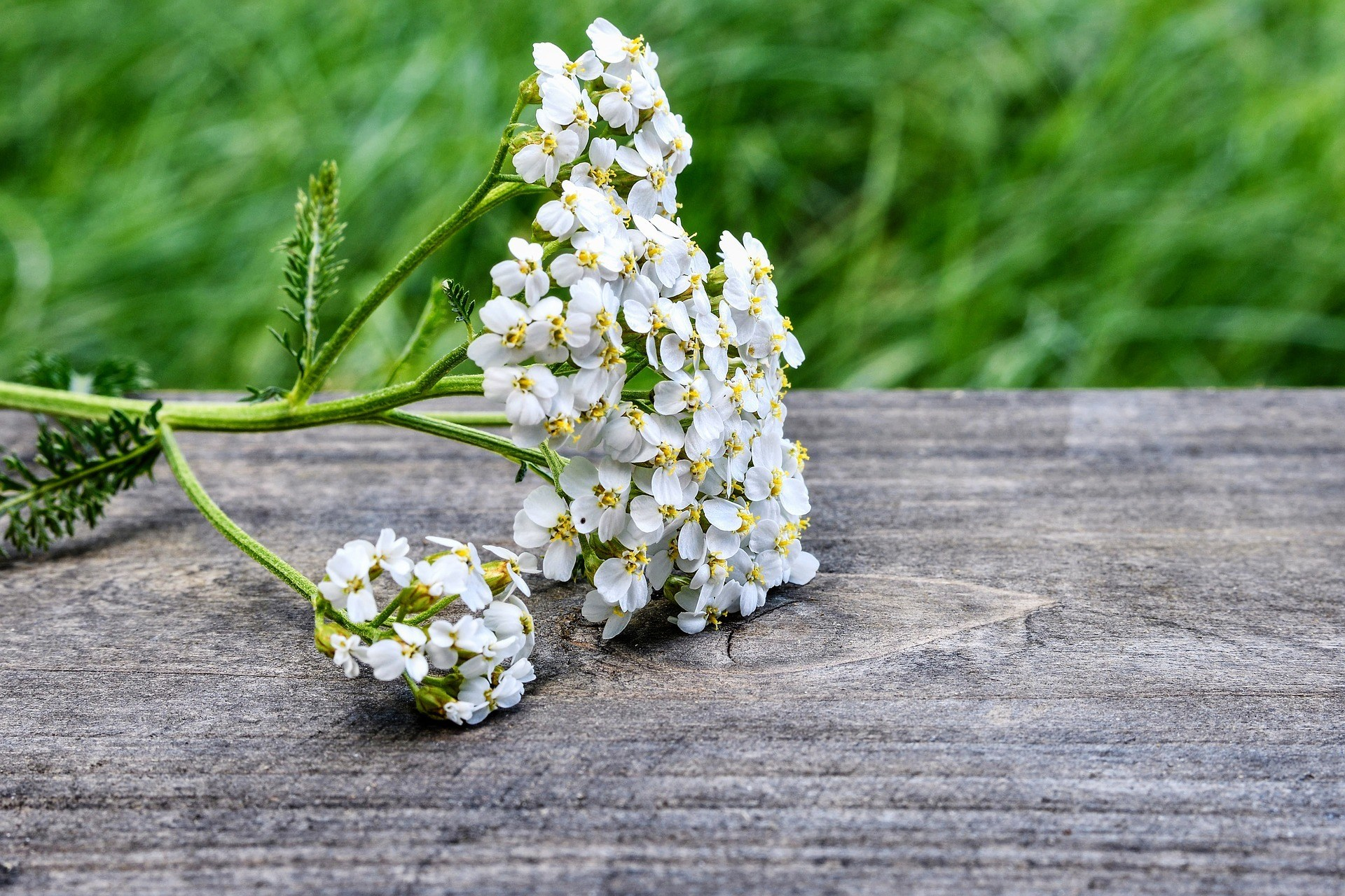 yarrow flower on bench
