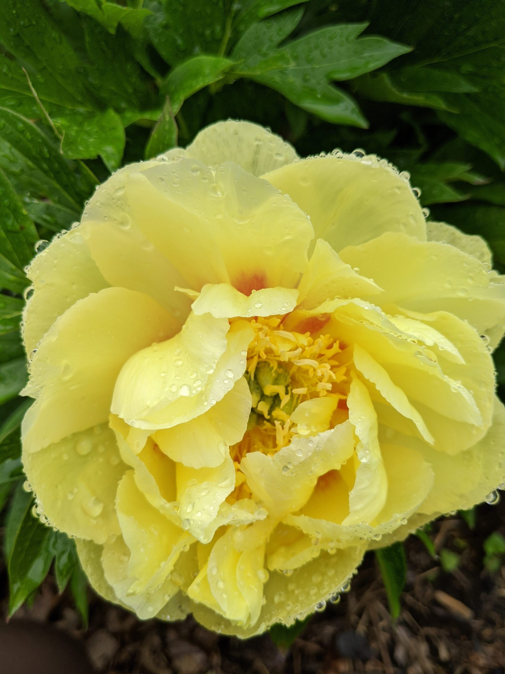 yellow peony in flower